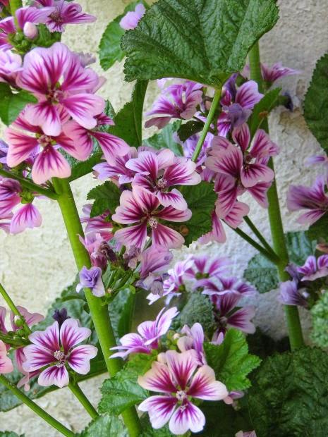 100 graines bio de mauve d 39 alger fleurs comestibles malva. Black Bedroom Furniture Sets. Home Design Ideas