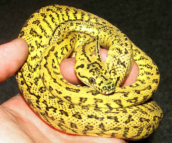 Jaguar Carpets Python and Albino carpets Python Amazing ...