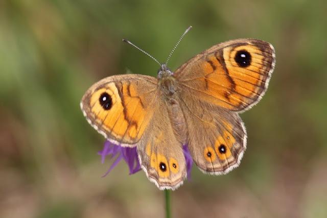 Tierfotos - Schmetterlinge - Braunauge