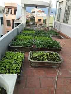 Vườn rau đẹp trên sân thượng nhà phố