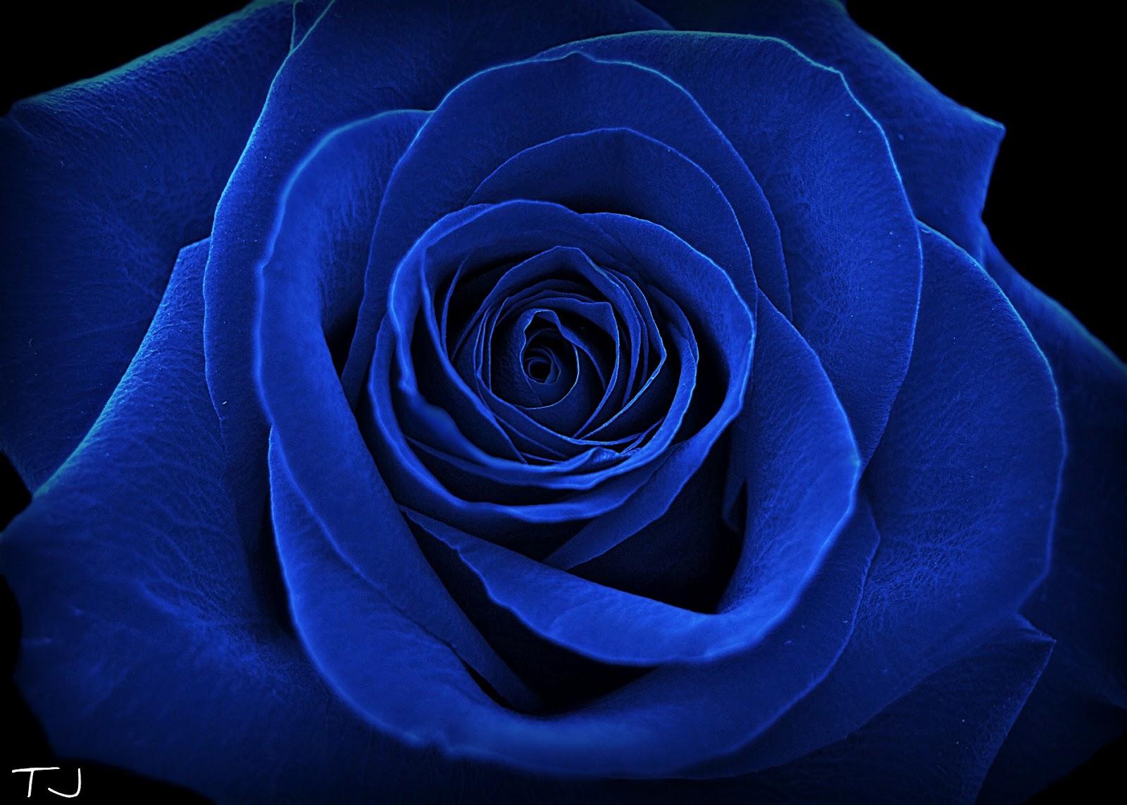 Image result for imagini trandafir albastru