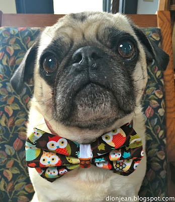 Liam the pug in his bow tie made with owl fabric