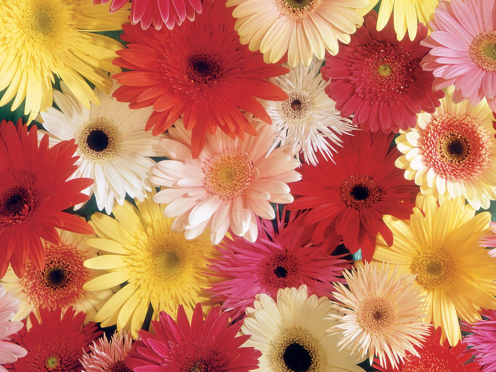 Gerbera Daises Use the love and innocency of these as Wedding Flowe