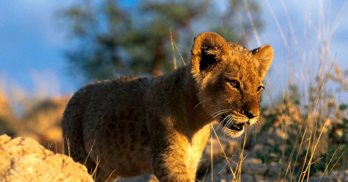 Imagenes de animales de la sabana imagen cria de leon for Sfondi leone