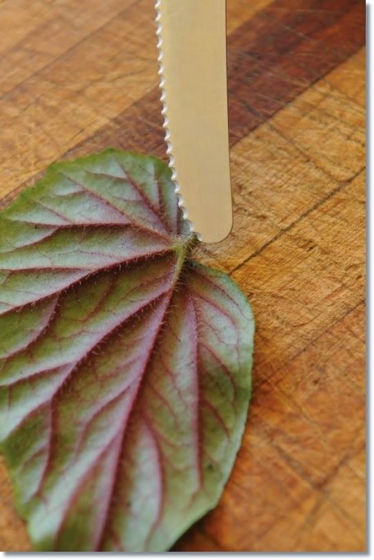 Razmnožavanje begonija reznicama - Moj Vrt Cvijeća