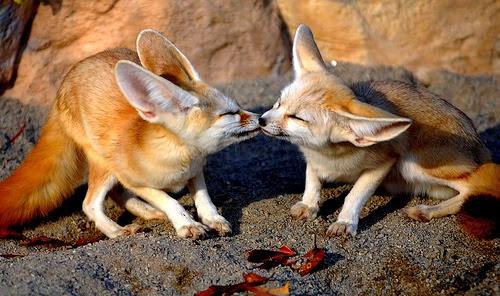 fotos animais adoráveis fofos se beijando beijo romântico Fenecos ou raposas-do-deserto