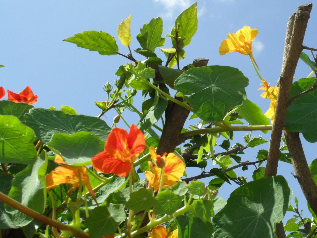 brightly coloured sunflowers Nasturtium