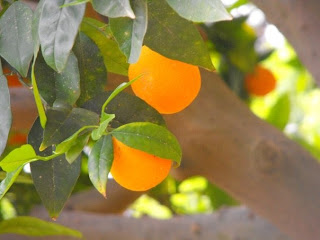 Oranges in an orchard at the Technological Educational Institute at Heraklion, Crete