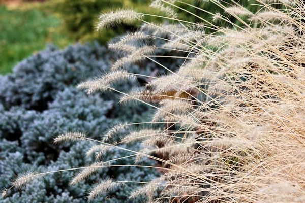A guide to northeastern gardening december 2013 for Blue fountain grass