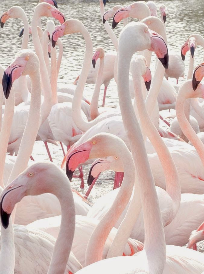 Pretty pale pink flamingo birds