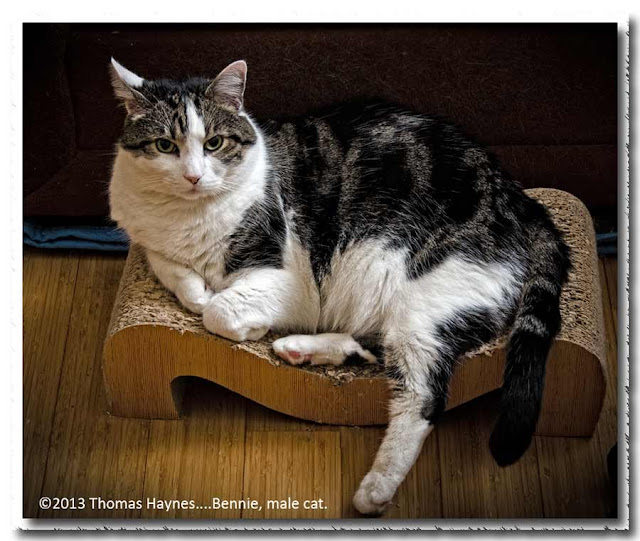 Bernnie, local male cat, Thoms Haynes photo