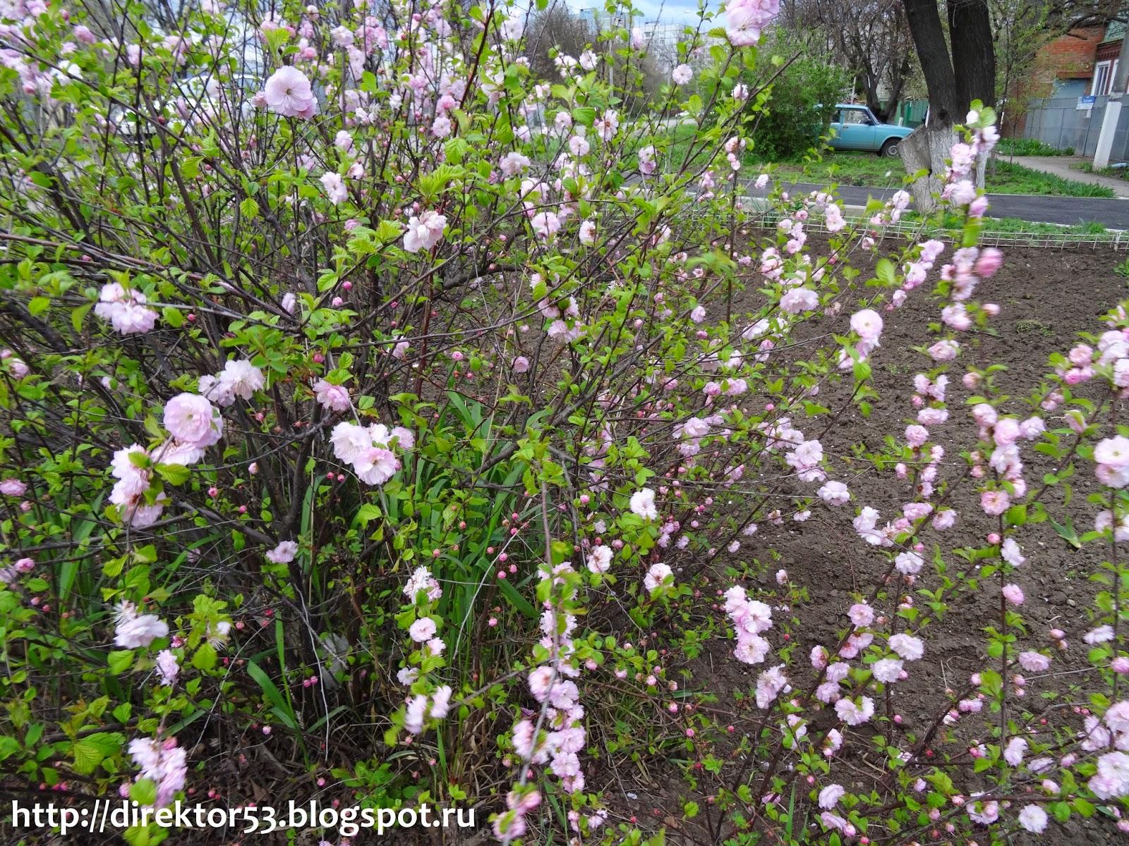 Фото кустарника с розовыми цветами