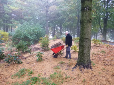 Bright red wheelbarrow pushed by volunteer David Culham has load  of pine needles for mulch.