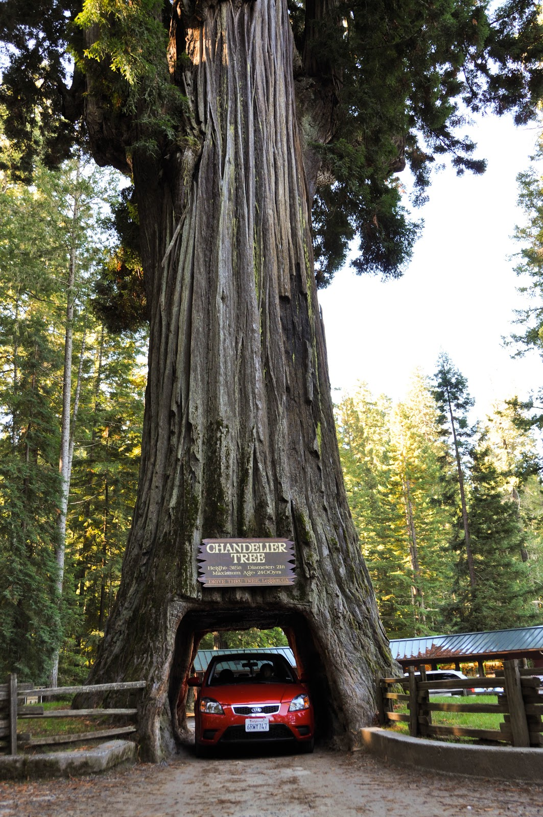 Sailor rn heading back home from the redwoods drive through tree arubaitofo Gallery