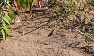 photo of late summer grasshopper at Wild River