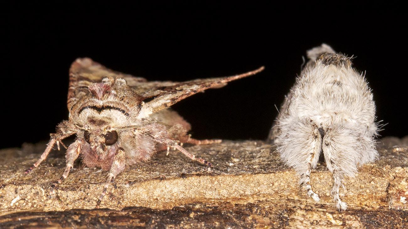 Light Brocade, Lacanobia w-latinum, and Pale Tussock,  Calliteara pudibunda.  West Wickham Common light trap set on 7 May 2014.