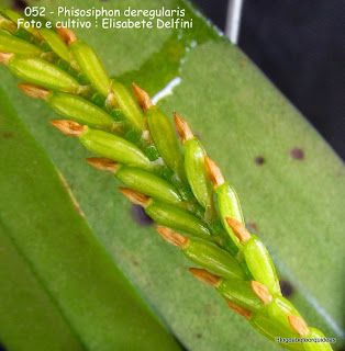 Pleurothallis deregularis, Stelis deregularis, Physosiphon spiralis, microorquidea