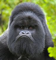Gorilla, Matoke, Safari