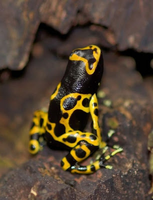 Incredible Multicolored Frogs puictures