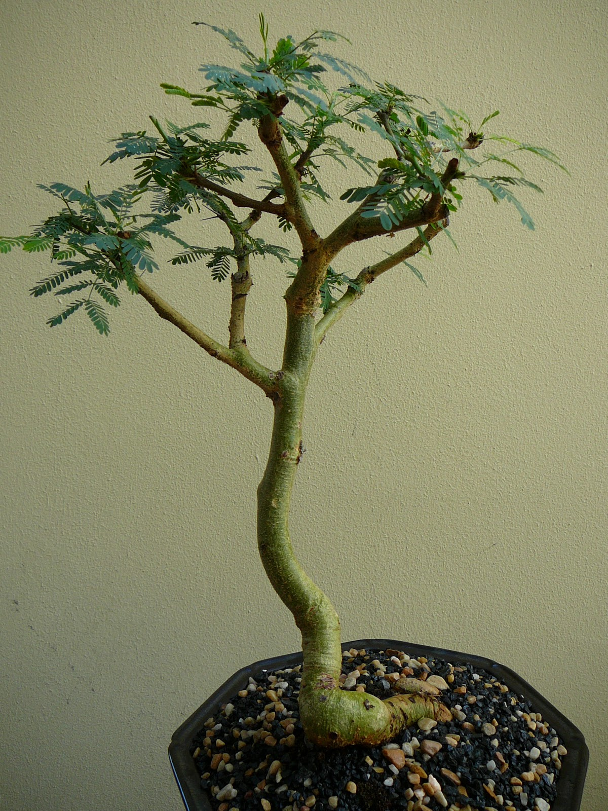 BORDER BONSAI SOCIETY ACACIA Xanthophloea By Merle Addison