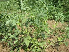 Guar Plant
