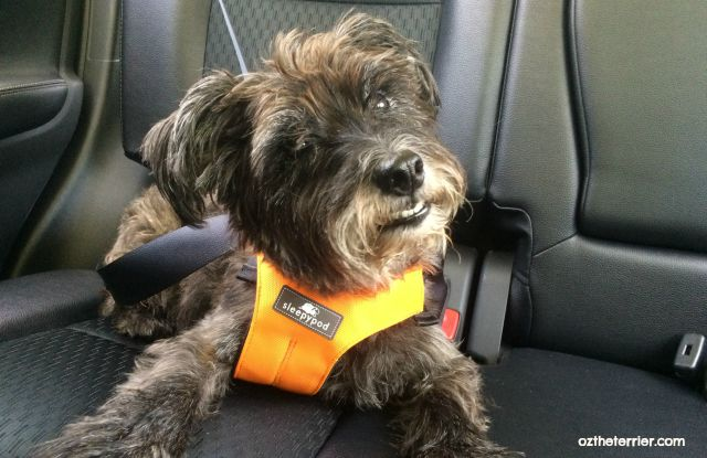 Oz the Terrier comfortably rides in the back seat of Mitsubishi Outlander  #DriveMitsubishi