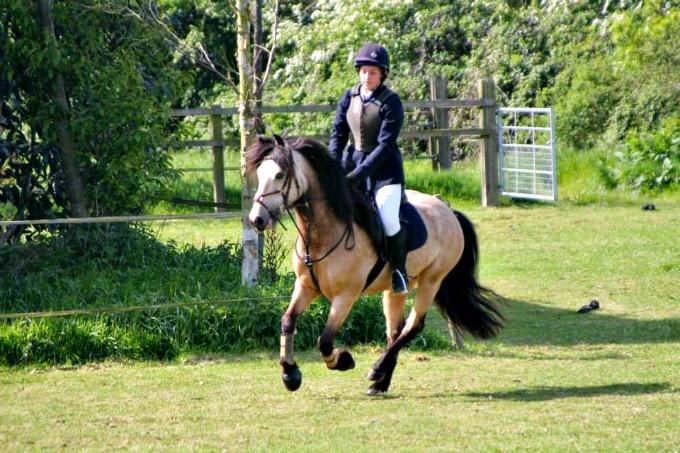 Cantering Irish Connemara Pony