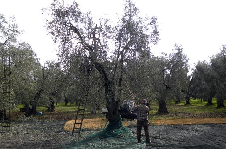 Si avvicina il periodo della raccolta delle olive for Raccolta olive periodo