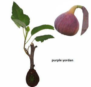 buah-tin-purple-yordan.jpg