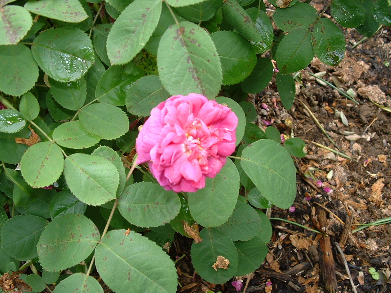 Rosa Mundi - Rosemary Hodgson - Rosa Mundi