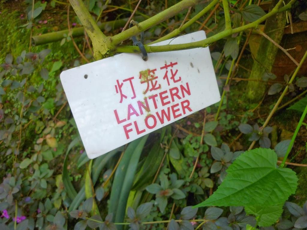 bunga lantern