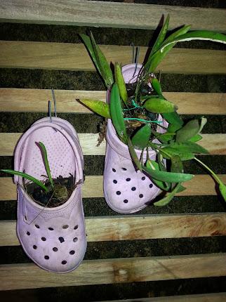 orquídea plantada sandália crocs...