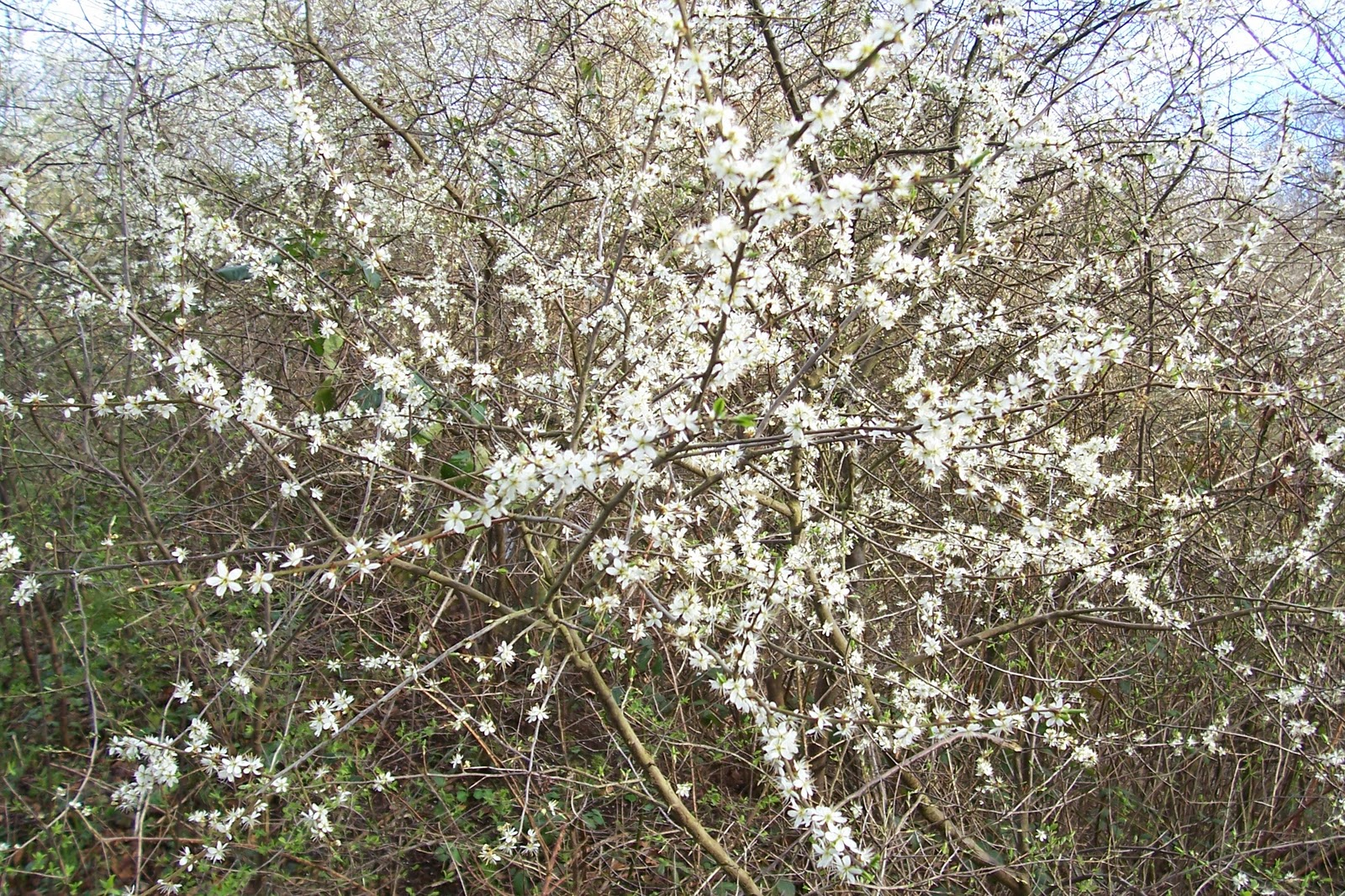 blackthorn tree - photo #26
