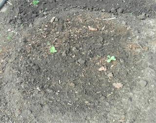 12 июня, у дыни два настоящих листика