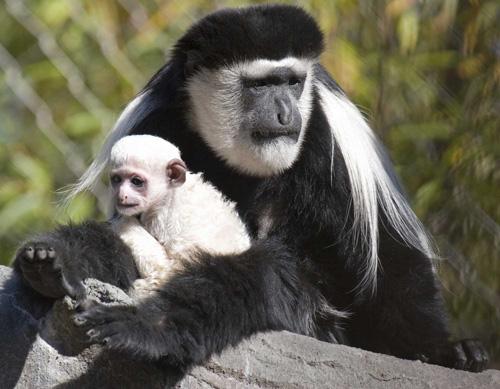 الكولوبوس Colobus Monkey