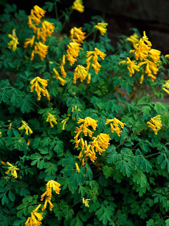 corydalis amarilla corydalis spp una de las plantas que florece durante ms tiempo en el jardn de sombra el contraste de las flores amarillas con el