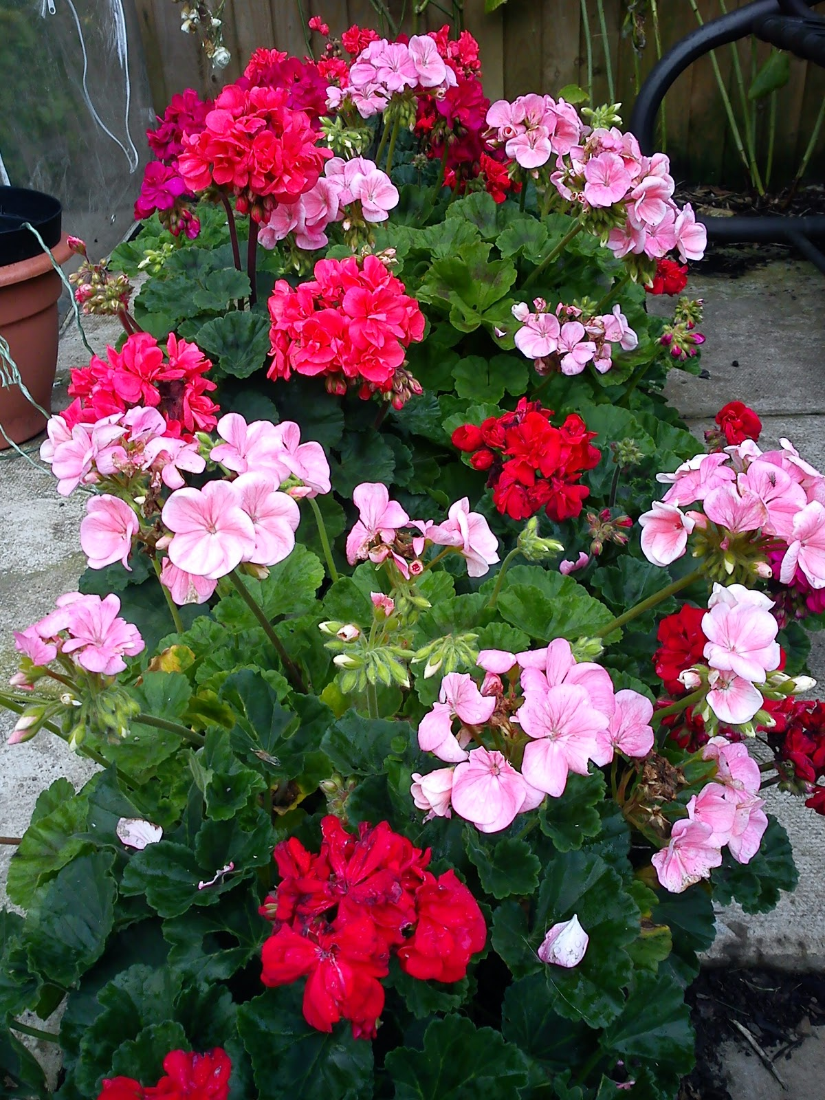 how to grow pelargoniums in south africa