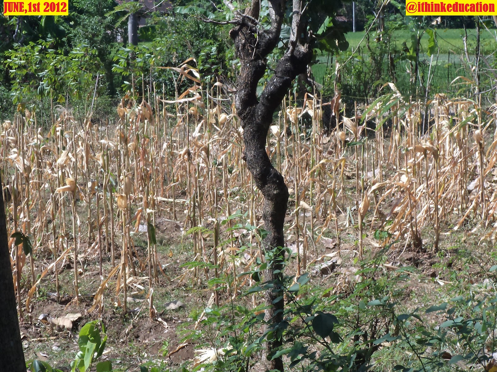 gambar jagung yang sudah dipanen. di desa Guwolandak, Kecamatan ...