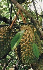 perawatan durian bawor