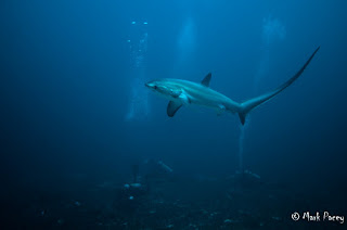 Thresher shark (Alopias pelagicus) at monad shoal, Malapascau.