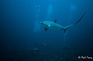 Thresher shark (Alopias pelagicus) at monad shoal, Malapascau.