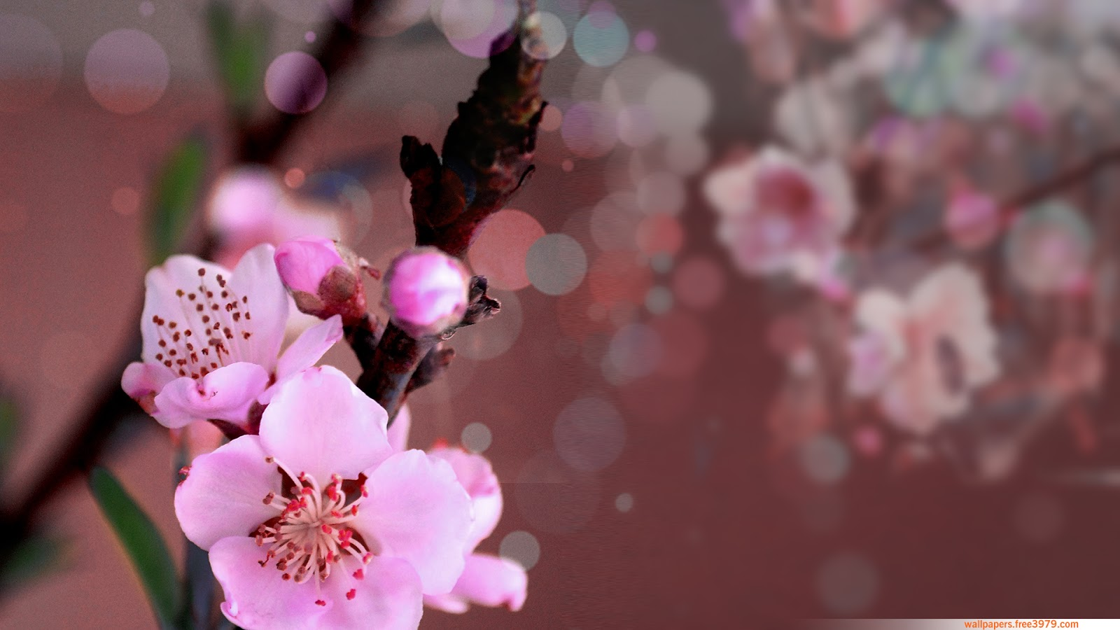 peach blossoms wallpaper - photo #14