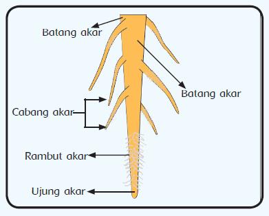 pengertian, bagian, fungsi dan jenis jenis akar pada tumbuhan