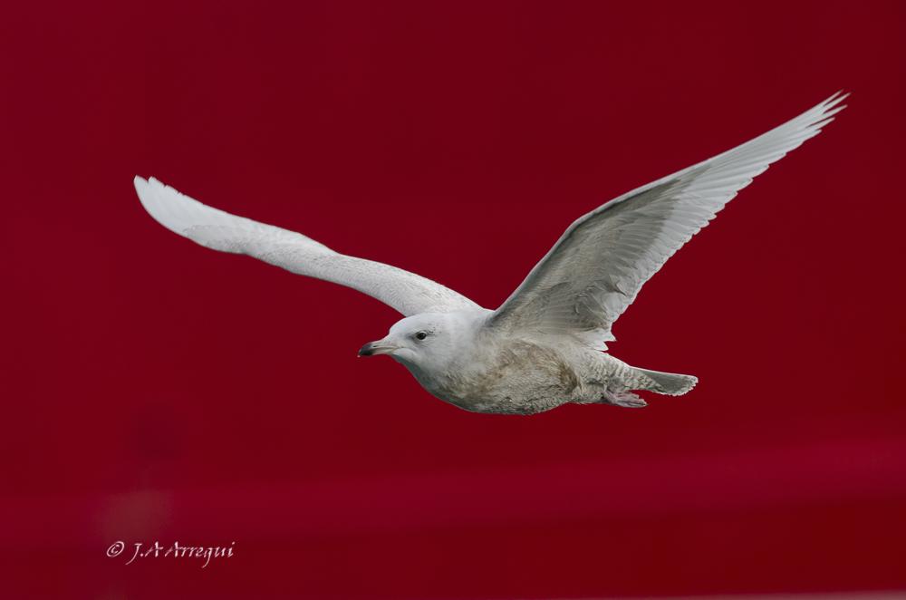 Gaviota polar o groenlandesa, Larus glaucoides, Iceland Gull.