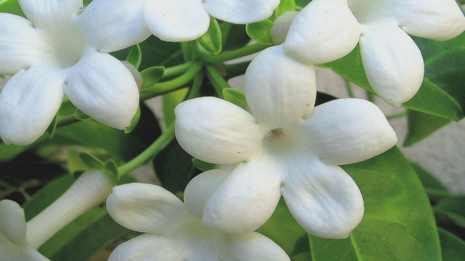 Jasmine Lovely Flowers Wallpapers 521 Entertainment World