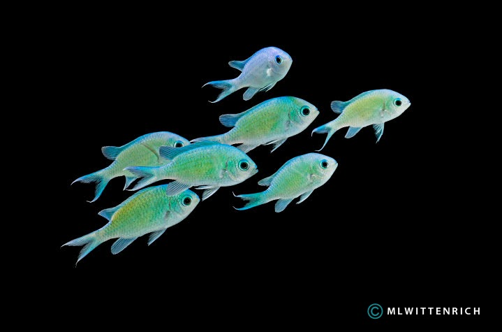 ... united states each year the green chromis chromis viridis may well be