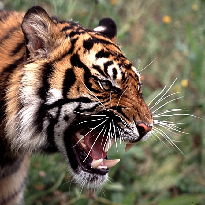 One Pic Angry Tiger Roar