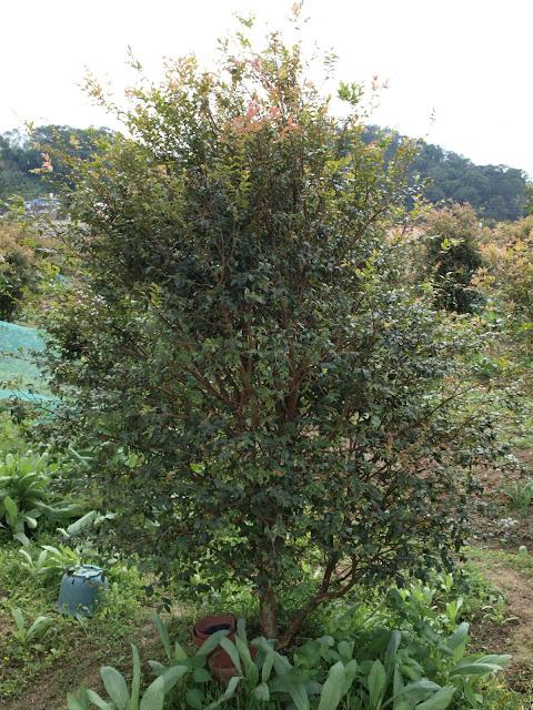 樹葡萄(嘉實果)