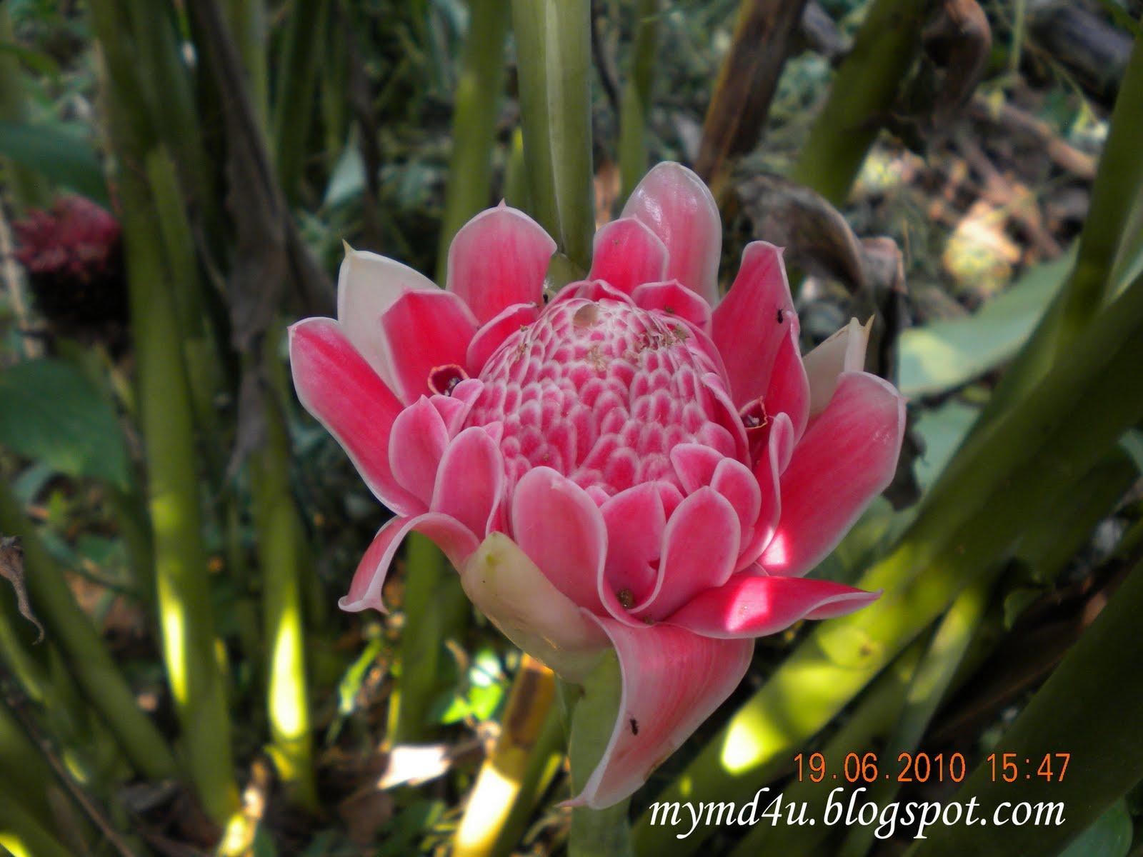 Bunga Kantan Cantik Dimata Enak Dimakan