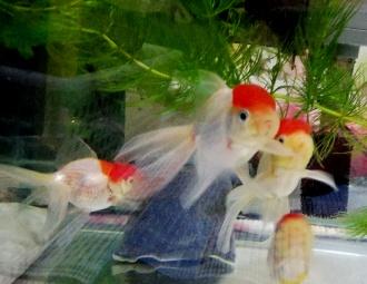金魚水槽(丹頂)★可愛いです_✧٩(ˊωˋ*)و✧